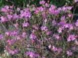 Vorfrühlings-Alpenrose 'Praecox', 30-40 cm, Rhododendron 'Praecox', Containerware