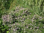 Waagerechte Aster 'Coombe Fishacre', Aster lateriflorus var. horizontalis 'Coombe Fishacre', Topfware