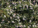 Waagerechte Aster 'Speyrer Herbstwoge', Aster lateriflorus 'Speyrer Herbstwoge', Topfware