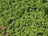 Wald-Erdbeere, Fragaria vesca var. vesca, Containerware