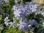 Kanadische Wald-Flammenblume, Phlox divaricata subsp. laphamii, Topfware