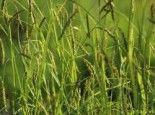 Wald Segge, Carex sylvatica, Topfware