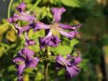 Waldrebe 'China Purple', 60-100 cm, Clematis heracleifolia 'China Purple', Containerware