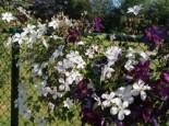 Waldrebe 'Forever Friends', 60-100 cm, Clematis 'Forever Friends', Containerware