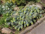 Walzen-Wolfsmilch, Euphorbia myrsinites, Topfware