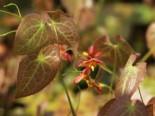 Warley-Elfenblume 'Orangekönigin', Epimedium x warleyense 'Orangekönigin', Topfware