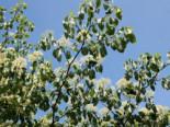 Wechselblättriger Hartriegel / Etagen-Hartriegel, 60-80 cm, Cornus alternifolia, Containerware