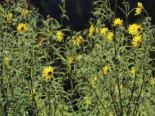 Klafterlange Sonnenblume, Helianthus orgyalis, Topfware