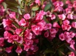Weigelie 'Alexandra', 40-60 cm, Weigela florida 'Alexandra', Containerware