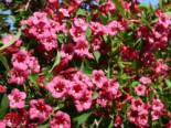Weigelie 'Bristol Ruby', 60-100 cm, Weigela 'Bristol Ruby', Wurzelware