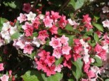 Weigelie 'Carnaval', 60-80 cm, Weigela 'Carnaval', Containerware