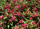 Weigelie 'Eva Rathke', 60-100 cm, Weigela 'Eva Rathke', Containerware
