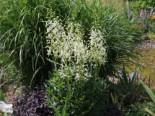 Weißblühender Diptam 'Albiflorus', Dictamnus albus 'Albiflorus', Topfware