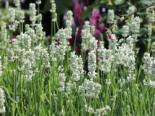 Weißblühender Lavendel 'Nana Alba', Lavandula angustifolia 'Nana Alba', Topfware