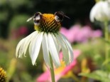 Weißblühender Sonnenhut 'Alba', Echinacea purpurea 'Alba', Topfware