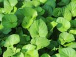 Weißblühendes Duft-Veilchen, Viola odorata forma alba, Topfware