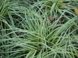 Weißgestreifte Vogelfuß-Segge 'Variegata', Carex ornithopoda 'Variegata', Topfware