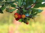 Westlicher Erdbeerbaum, 80-100 cm, Arbutus unedo, Containerware