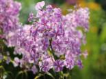 Wiesen-Flammenblume 'Natascha', Phlox maculata 'Natascha', Topfware