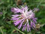 Wiesen-Flockenblume, Centaurea jacea, Topfware