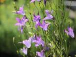 Wiesen-Glockenblume, Campanula patula subsp. patula, Topfware
