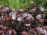 Wiesen-Storchschnabel 'Black'n White Army', Geranium pratense 'Black'n White Army', Topfware