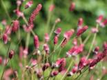 Wiesenknopf 'Pink Tanna', Sanguisorba officinalis 'Pink Tanna', Topfware