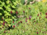 Wiesenknopf 'Tanna', Sanguisorba officinalis 'Tanna', Topfware