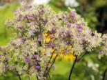 Wiesenraute 'Anne', Thalictrum rochebrunianum 'Anne', Topfware