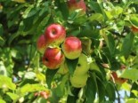 Wildapfel / Holzapfel / Gemeiner Apfel, 60-100 cm, Malus sylvestris, Wurzelware