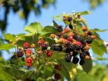 Wilde Brombeere, 40-60 cm, Rubus fruticosus, Containerware