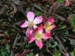 Wildrose Hechtrose / Rotblättrige Rose glauca, 60-100 cm, Rosa glauca, Wurzelware