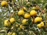 Winterapfel 'Ananasrenette', Stamm 40-60 cm, 120-160 cm, Malus 'Ananasrenette', Wurzelware