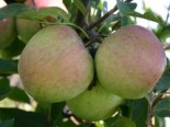 Malus 'Laxtons Superb'