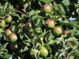 Malus 'London Pepping'
