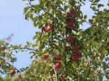 Winterapfel 'Pingo' ®, Stamm 40-60 cm, 120-140 cm, Malus 'Pingo' ®, Wurzelware