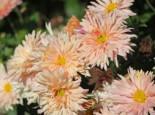 Winteraster 'Apricot', Chrysanthemum x hortorum 'Apricot', Topfware