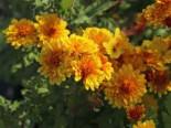 Winteraster 'Bienchen', Chrysanthemum x hortorum 'Bienchen', Topfware