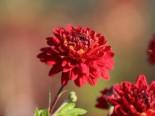 Winteraster 'Brockenfeuer', Chrysanthemum x hortorum 'Brockenfeuer', Topfware