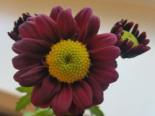 Winteraster 'Dark Handsome', Chrysanthemum x hortorum 'Dark Handsome', Topfware