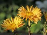 Winteraster 'Für Elise', Chrysanthemum x hortorum 'Für Elise', Topfware