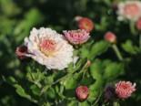 Winteraster 'Julia', Chrysanthemum x hortorum 'Julia', Topfware