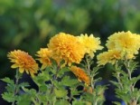 Winteraster 'Juliane', Chrysanthemum x hortorum 'Juliane', Topfware