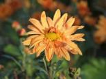 Winteraster 'Kleiner Bernstein', Chrysanthemum x hortorum 'Kleiner Bernstein', Topfware