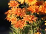 Winteraster 'Mandarine', Chrysanthemum x hortorum 'Mandarine', Topfware