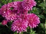 Winteraster 'Manito', Chrysanthemum x hortorum 'Manito', Topfware