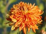 Winteraster 'Ordenstern', Chrysanthemum x hortorum 'Ordenstern', Topfware