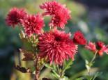 Winteraster 'Pizzicato', Chrysanthemum x hortorum 'Pizzicato', Topfware