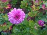 Winteraster 'Rotes Julchen', Chrysanthemum x hortorum 'Rotes Julchen', Topfware