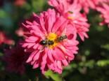 Winteraster 'Schloßtaverne', Chrysanthemum x hortorum 'Schloßtaverne', Topfware